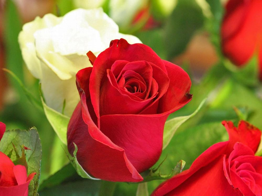 A Kiss From A Rose (Advice For Ladies)